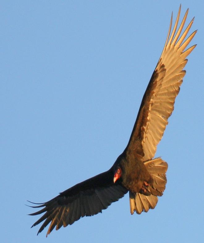 VultureInFlightWP